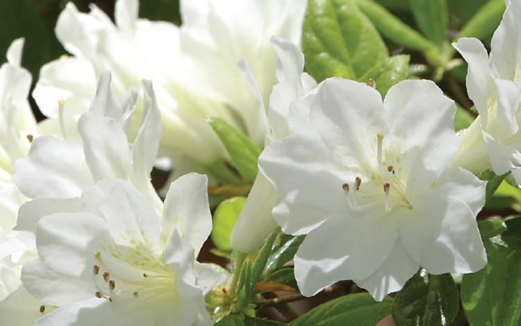 Azaleas & Camellias