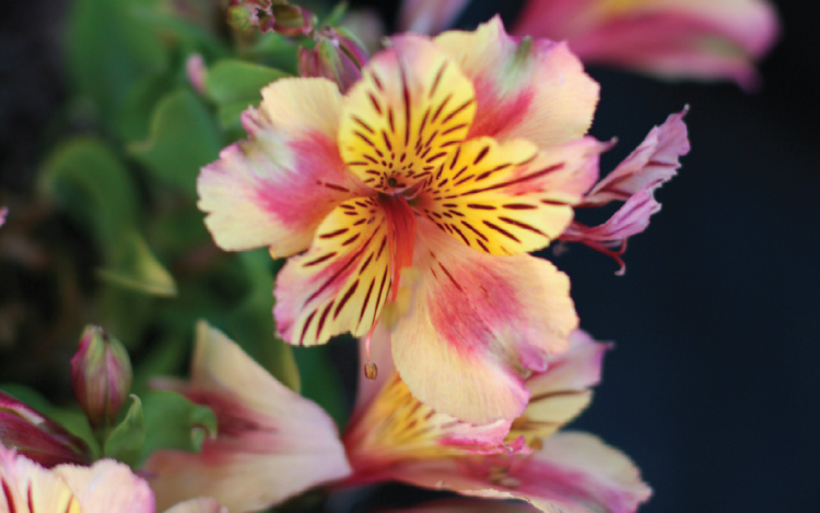 Inca Lillies