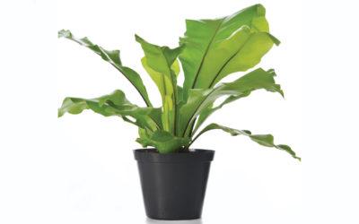Foliage Indoor Pot Plants