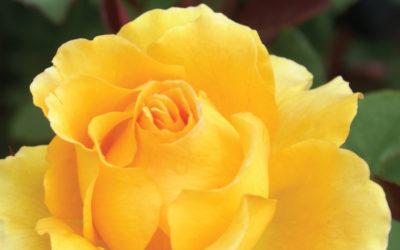 Rose-400x250 GardenCare Leaflets