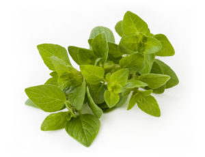 Fresh oregano bunch + clipping path