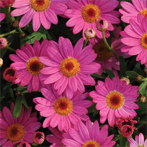 Cerise pink Daisy Bush