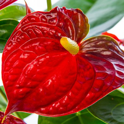 Dark-Red-Anthurium