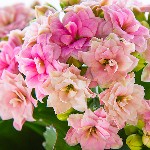 Kalanchoe Light Pink