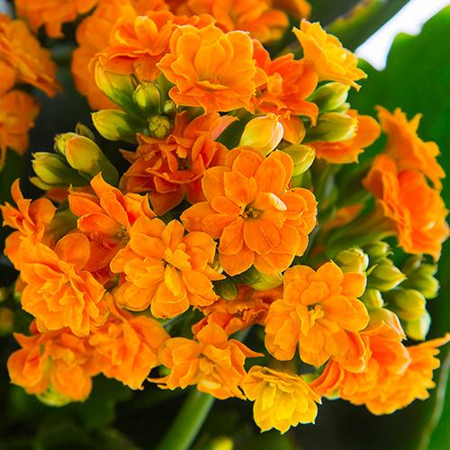 Orange-Calandiva
