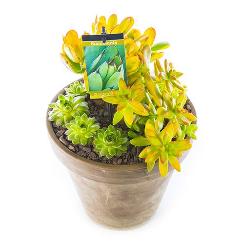 Basalt Flower Pots : Succulent in basalt pot yellow large gardenshop