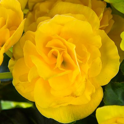 begonia elatior yellow