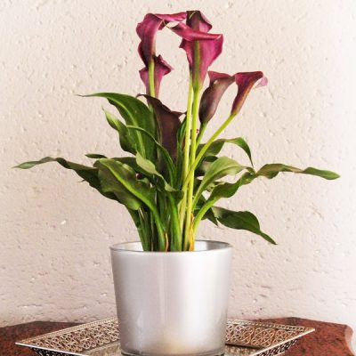 Purple Zantedeschia