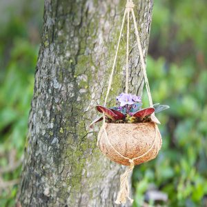 Hanging African Violet