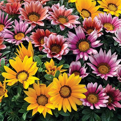 15-Gazania-400x400 OUTDOOR PLANTS