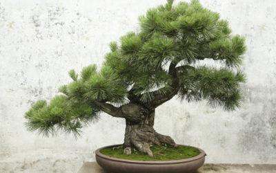 Bonsai-Tips-from-the-GardenGuru-400x250 Garden Guru Tips and Tricks