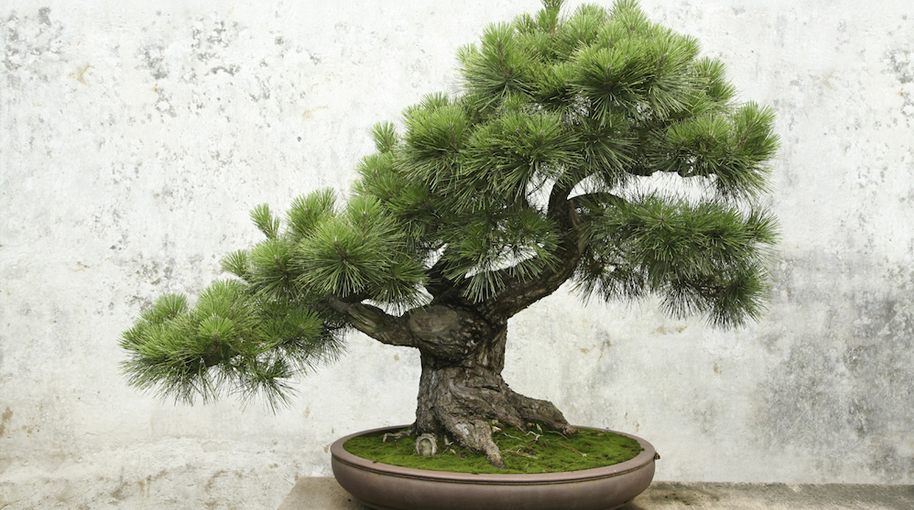 Bonsai Tips from the GardenGuru