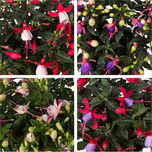 Fuchsia-varieties