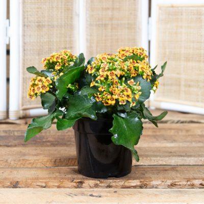 Florist Kalanchoe – Kalanchoe blossfeldiana 15cm