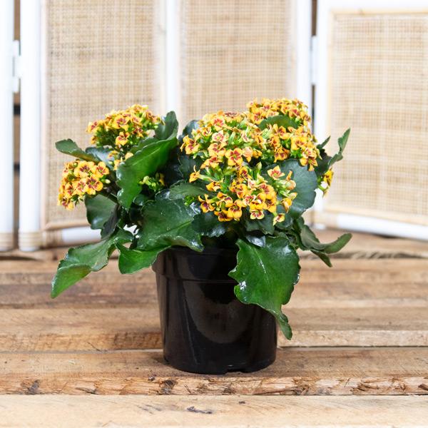 48489000 - Florist Kalanchoe - Kalanchoe blossfeldiana 15cm