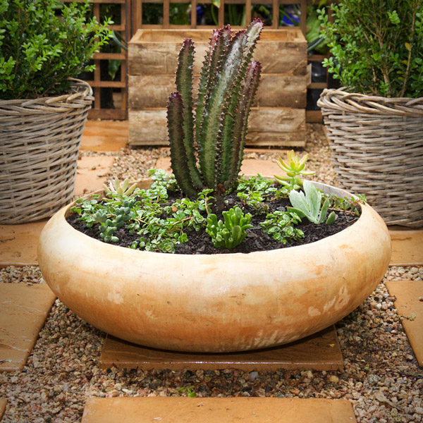 Planted Euphorbia