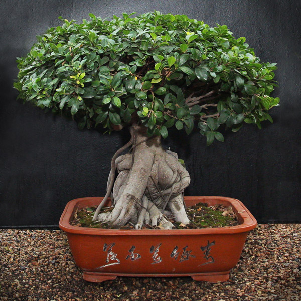 bonsai ficus ginseng large gardenshop. Black Bedroom Furniture Sets. Home Design Ideas