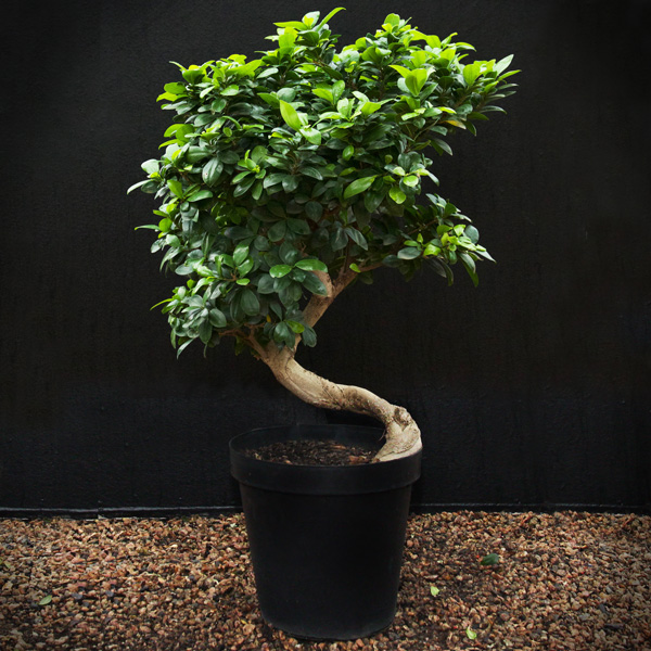 bonsai ficus ginseng gardenshop. Black Bedroom Furniture Sets. Home Design Ideas