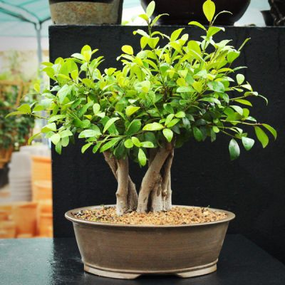 0019-1-Bonsai-Ficus-R1650-–-SKU-70017628-400x400 BONSAI