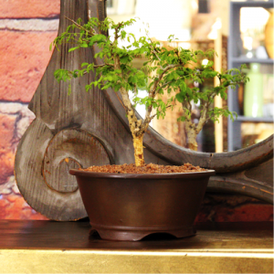 Bonsai Acacia Large