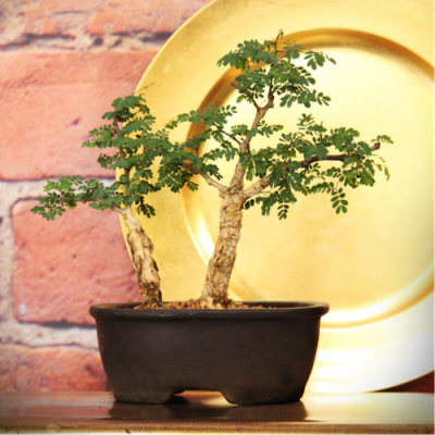 Bonsai-Acacia-Small-R425.00-400x400 BONSAI