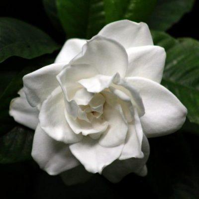 Gardenia Belmont