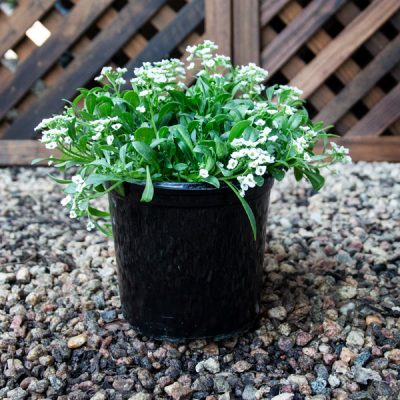 White Alyssum 15cm pot