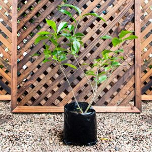 Gardenia Belmont 5L