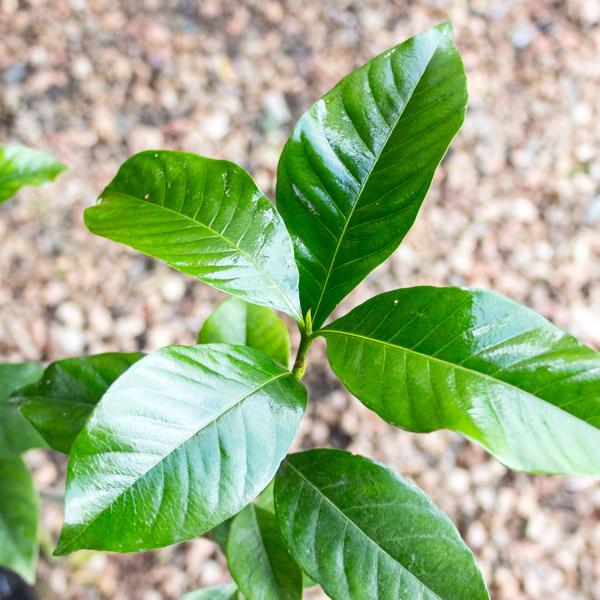 Gardenia Belmont2