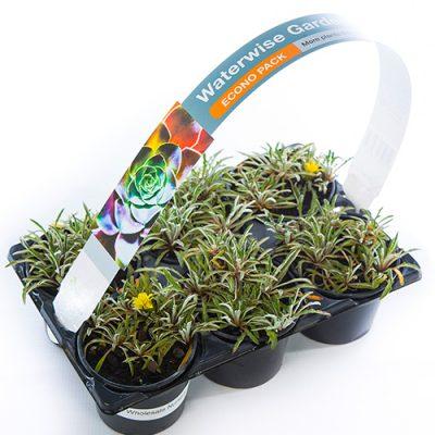 Econo Pack Dymondia margaretae