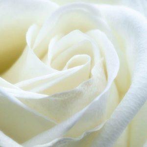 Rose Iceberg White