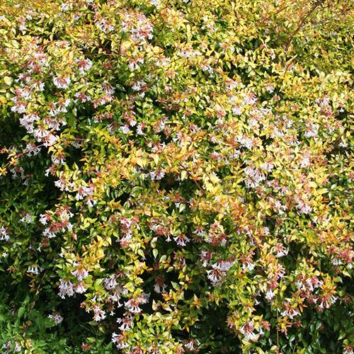Abelia Francis Mason Outdoor Plants Shrubs Gardenshop