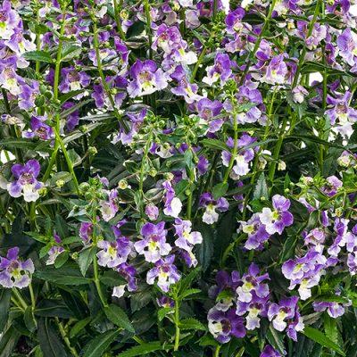 Angelonia Purple & White