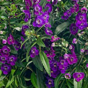Angelonia  Varieties