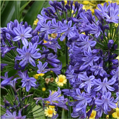 Blue Nile Lily