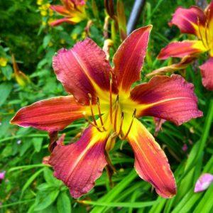 Hemerocallis mixed colours