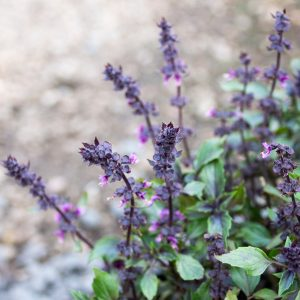 Herbalea Basil – Anethum graveolens Ocimum herbalea 'Dark Lady' 17cm