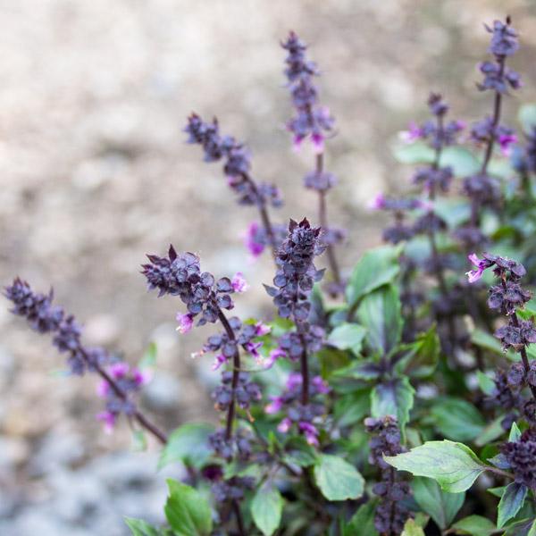 Herbalea Basil
