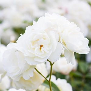 Rose Iceberg White