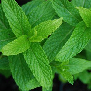 Mint – Mentha spicata 17cm