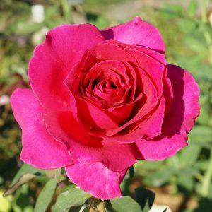 Rose Rina Hugo HT