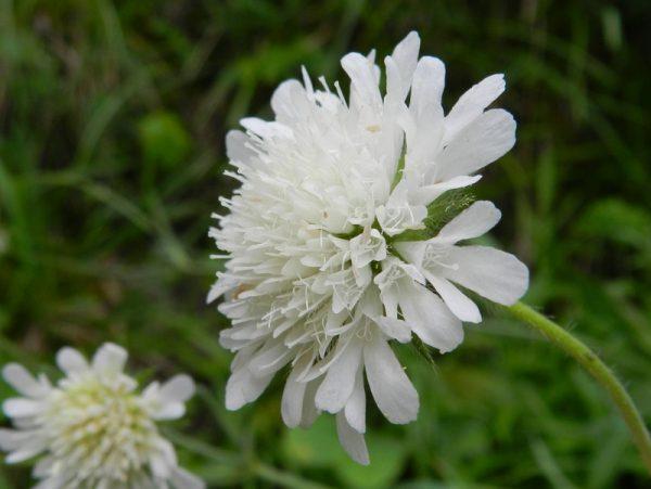Scabiosa columbaria-white