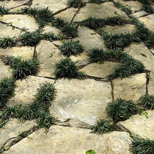 Dwarf-Mondo-Grass