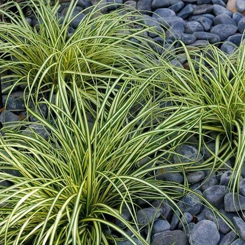 Evergold-Sedge-Grass