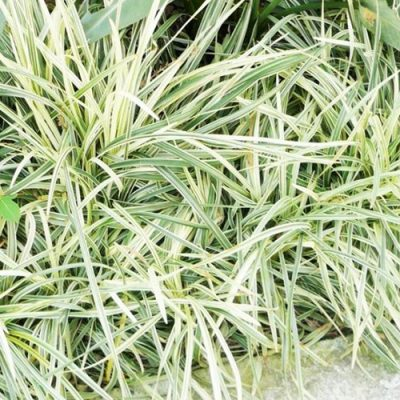 Variegated-Lilyturf-400x400 OUTDOOR PLANTS