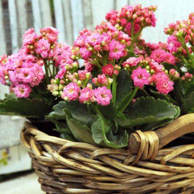 Planted Kalanchoe Basket