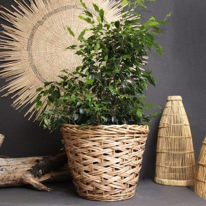 Planted Ficus in Basket