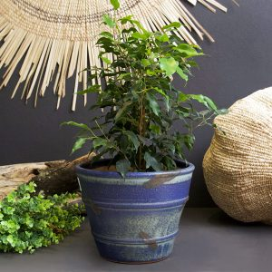 Planted Ficus in Blue Pot