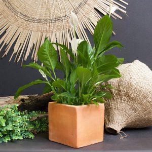 Planted Spathiphyllum