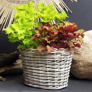 Planted Coleus Mix